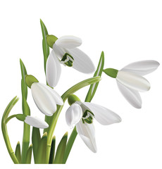 Spring snowdrop flowers bouquet isolated on white. Vector illust