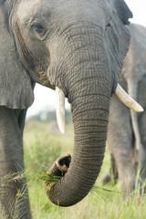 Elefantenrüssel