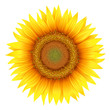 Flower of sunflower, isolated on white, vecto