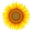 Flower of sunflower, isolated on white, vecto
