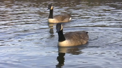 Two geese swimming synchronized  isolated