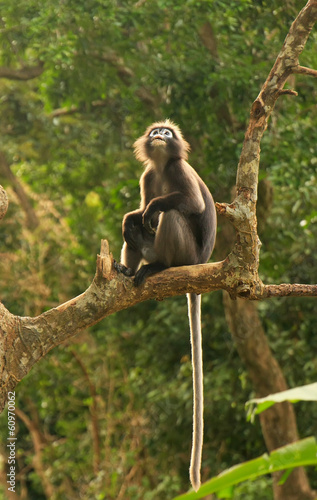 Spectacled langur sitting in a tree, Ang Thong National Marine P
