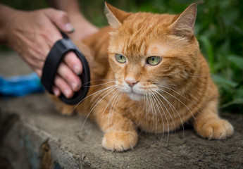 Woman combing a red cat outdoor. Selective focus.