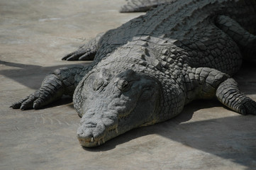 The huge crocodile
