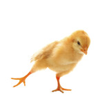little yellow young baby chick excercise yoka isolated on white