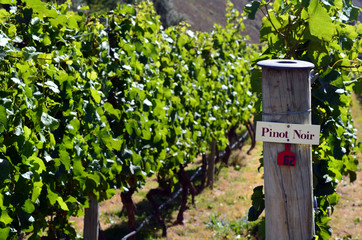Pinot Noir sign on grape vine