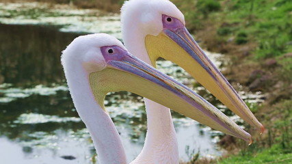 little groups of beautiful pelican looking around