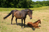 Brown horse with foal