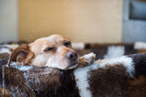 Fotobehang Hond Sleepy cross breed dog in basket