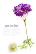 White and purple eustoma flowers