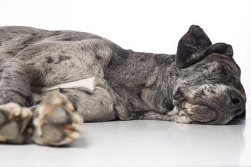 schlafende Deutsche Dogge