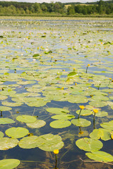 Lake with water lilies and yellow Brandy-bottles