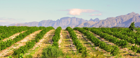 Lemon orchard and mountain lanscape, South Africa Western Cape