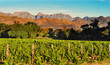 Vineyard in South African Western Cape - 60984250