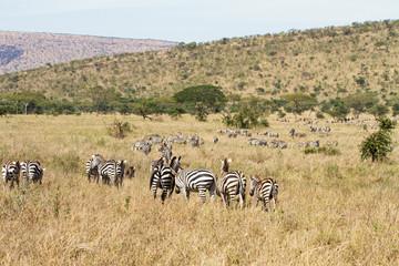 Zebras grazing in Tanzania