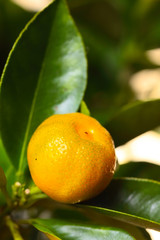 Calamondin branch