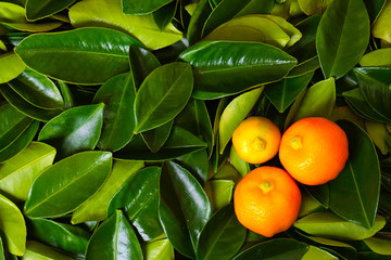 Calamondin citrus fruits