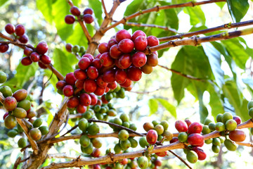 Red and green coffee beans ripe on the branch of coffee plant