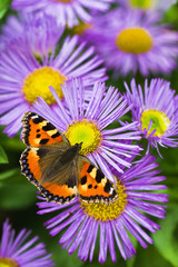 Tortoisesehell butterfly on Aster flowers