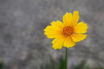 Beautiful yellow flower on grey background
