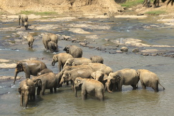 drove of wild big elephants playing  in water