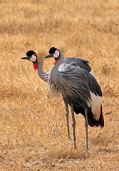 Gray Crowned Crane Couple, Ngorongoro Crater, Tanzania