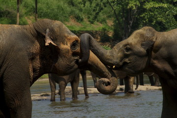 Wild big elephants playing  in water