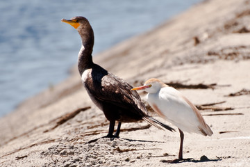 Cattle Egret and Double-crested Cormorant