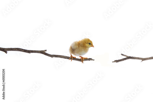new born chick on day tree branch try to jump to another side
