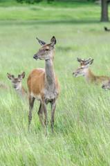 deer's standing in grass and looking