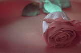 Pink Rose on Satin Fabric