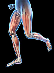 3d rendered illustration - female jogger muscles
