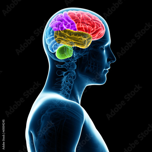 3d rendered illustration -  sections of the human brain