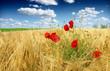 corn poppy in wheat field