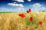 corn poppy in wheat field