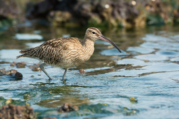 Whimbrel in a tidal pool