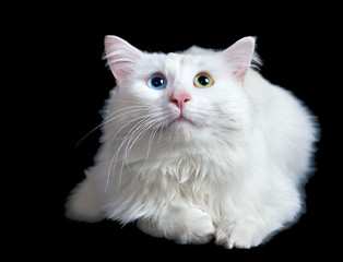 beautiful fluffy white cat with different eyes isolated
