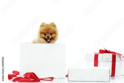 Little funny spitz with bow tie inside gift box