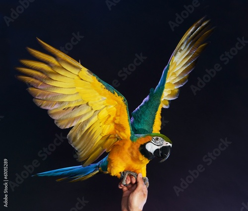 Trained colourful parrot sitting on a human hand