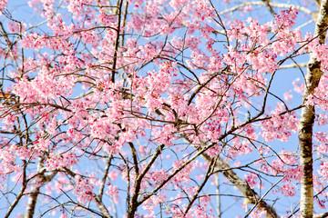 Thai sakura in winter season