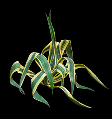Agave on a black background