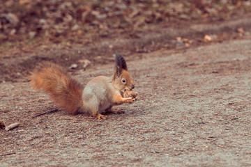Red Squirrel with walnut (Sciurus vulgaris)