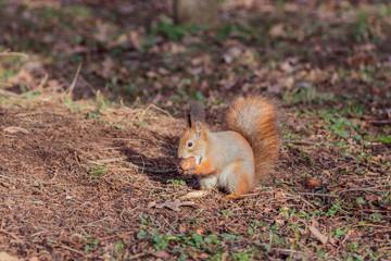 Squirrel with walnut (Sciurus vulgaris)