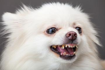 Pomeranian bark