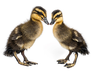 cute ducklings - love