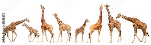 Fotobehang Giraffe Giraffe (Giraffa camelopardalis)