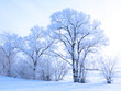 canvas print picture - snow covered tree
