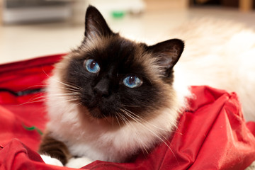 Birman cat on a bag at home