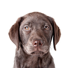 Puppy labrador retriever dog close up portrait isolated on a whi
