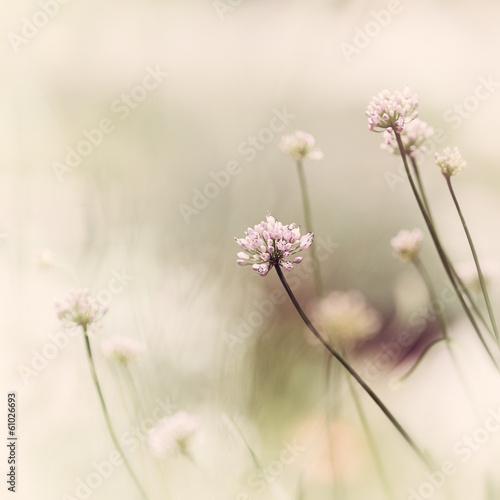 Garlic Flowers © B. and E. Dudziński